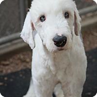 Adopt A Pet :: Russell - Woonsocket, RI