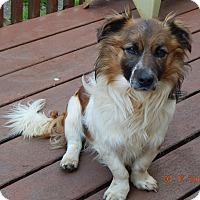 Adopt A Pet :: Moco(16 lb) Sweet, Gentle Soul! - SUSSEX, NJ
