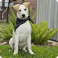 Labrador Retriever/Labrador Retriever Mix Dog for adoption in Vancouver, British Columbia - Pirate