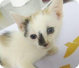 Domestic Shorthair Kitten for adoption in Lincolnton, North Carolina - Peanut $20