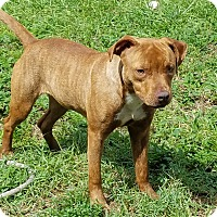 American Pit Bull Terrier Puppy for adoption in Miami, Florida - Itty-Bitty