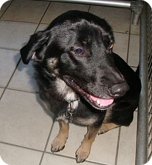 Shepherd (Unknown Type) Mix Dog for adoption in Coudersport, Pennsylvania - VETERAN