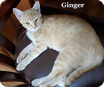 Domestic Shorthair Cat for adoption in Bentonville, Arkansas - Ginger