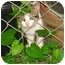 Photo 3 - Calico Kitten for adoption in Cleveland, Ohio - Little Pumpkin