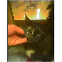 Adopt A Pet :: Miss Kitty (torti) - Owasso, OK