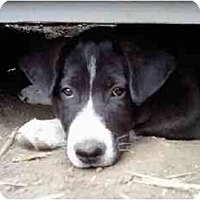 Adopt A Pet :: Rosalie (Flagstaff) - Scottsdale, AZ