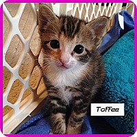 Adopt A Pet :: Toffee - Miami, FL