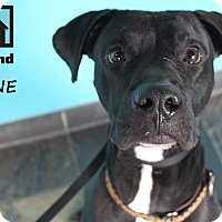 Adopt A Pet :: Bane - Chicago, IL