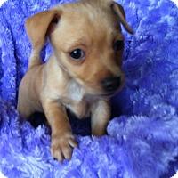 Adopt A Pet :: Emerson - Austin, TX