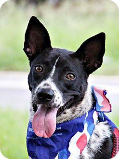 Cattle Dog/Bernese Mountain Dog Mix Dog for adoption in San Francisco, California - Landi