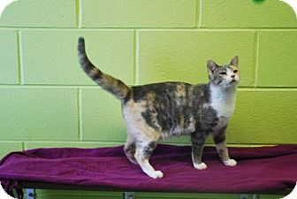 Calico Cat for adoption in Dublin, Virginia - Junebug