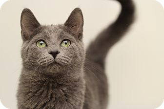 Russian Blue Kitten for adoption in Marietta, Georgia - Susie