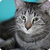 Domestic Shorthair Cat for adoption in Marietta, Georgia - Benny