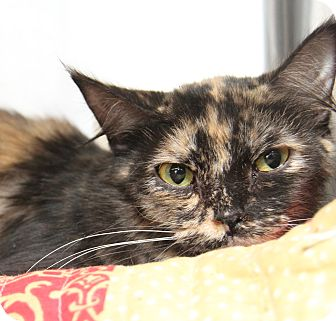 Domestic Shorthair Cat for adoption in Marietta, Ohio - Paisley (Combo'd/Spayed)