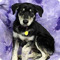 Adopt A Pet :: Noah - Westminster, CO