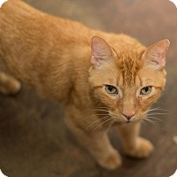 Domestic Shorthair Cat for adoption in Los Angeles, California - Morty