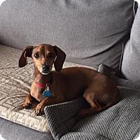 Adopt A Pet :: Rosie 'mini' - Los Angeles, CA