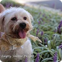 Maltese Mix Dog for adoption in Manassas, Virginia - Livvy (formerly Zivvy)