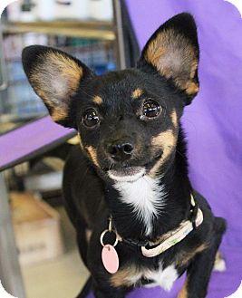 Miniature Pinscher/Chihuahua Mix Puppy for adoption in Red Bluff, California - Dina