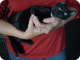 Domestic Shorthair Kitten for adoption in Surrey, British Columbia - Niko