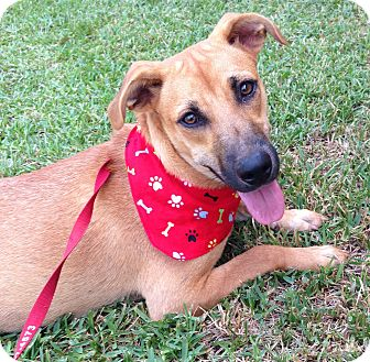 Shepherd (Unknown Type)/Boxer Mix Dog for adoption in Brattleboro, Vermont - Samantha ~ DOB 2/21/16!