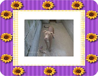 Staffordshire Bull Terrier Mix Dog for adoption in KELLYVILLE, Oklahoma - SCARLETT