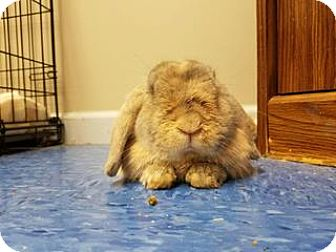 Lop, Holland for adoption in Queenstown, Maryland - Red