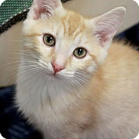 Domestic Shorthair Kitten for adoption in Youngsville, North Carolina - Augustus