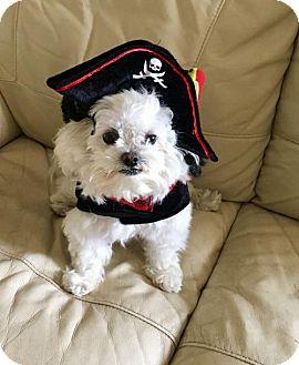 Maltese/Toy Poodle Mix Dog for adoption in Jupiter, Florida - Ollie