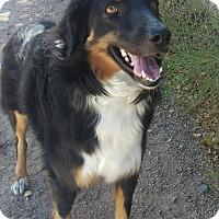 Anatolian Shepherd Mix Dog for adoption in Apache Junction, Arizona - Dakota