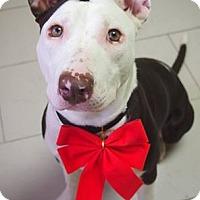 Adopt A Pet :: Lulu - Philadelphia, PA