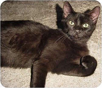 Domestic Shorthair Cat for adoption in Thibodaux, Louisiana - Bewitched FE1-7307