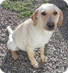 Labrador Retriever Mix Dog for adoption in West Milford, New Jersey - FERRIS- HOLD