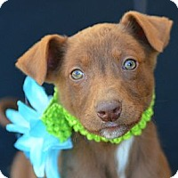 Adopt A Pet :: Julia Roberts - Plano, TX