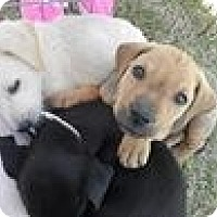 Adopt A Pet :: lab puppies - New Orleans, LA
