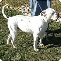 Adopt A Pet :: Bebe - Am Bulldog - Toronto/Etobicoke/GTA, ON