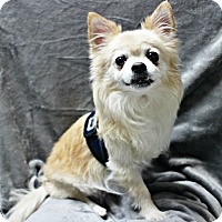 Adopt A Pet :: Beau - Forked River, NJ