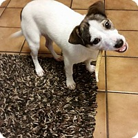 Adopt A Pet :: Gager In Dallas - Dallas/Ft. Worth, TX