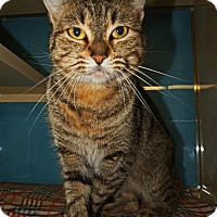 Domestic Shorthair Cat for adoption in Converse, Texas - Penelope
