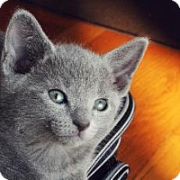 Adopt A Pet :: Blue baby - Whitestone, NY