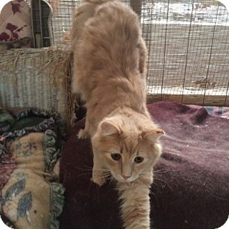 Domestic Mediumhair Kitten for adoption in Delmont, Pennsylvania - Mellow