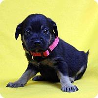 Adopt A Pet :: Heidi - Westminster, CO
