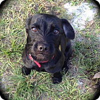 Schnauzer (Miniature)/Terrier (Unknown Type, Medium) Mix Dog for adoption in Winter Haven, Florida - Daxter