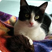 Domestic Shorthair Cat for adoption in Houston, Texas - Daphne
