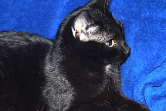 Domestic Shorthair Cat for adoption in Laingsburg, Michigan - Jesse
