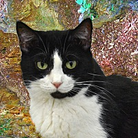 American Shorthair Cat for adoption in Pineville, North Carolina - Snookums