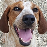Adopt A Pet :: Harley - Bloomington, IL