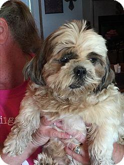Shih Tzu Mix Dog for adoption in Blanchard, Oklahoma - Liza Jane