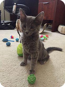 Domestic Longhair Kitten for adoption in Chandler, Arizona - Benji