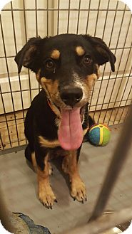Rottweiler/Australian Cattle Dog Mix Puppy for adoption in Peoria, Arizona - Harbin